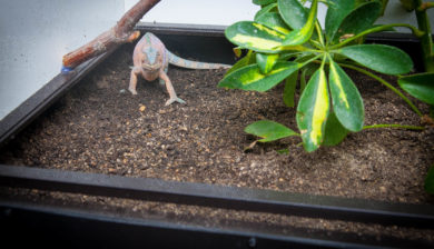 chameleon laying eggs