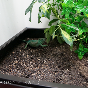 Dragon Strand egg laying box with chameleon
