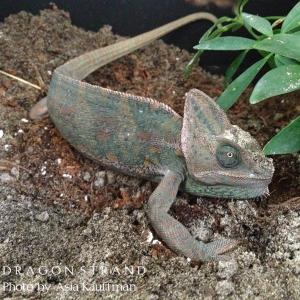 Veiled chameleon laying eggs