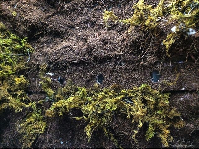 More green moss for leaf tailed geckos