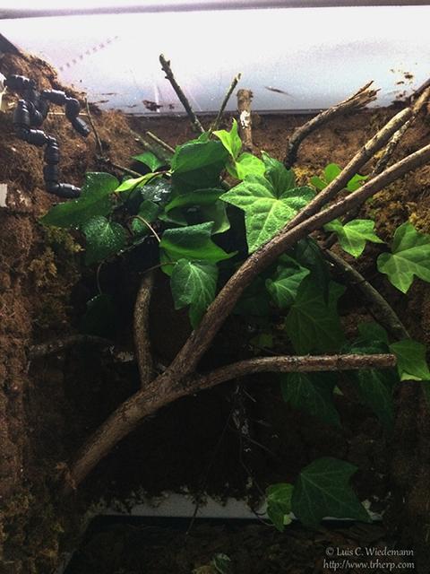 Completed leaf tailed gecko (uroplatus) naturalistic vivarium