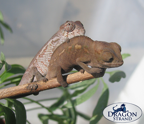 Juvenile Panther Chameleon Dominance Play