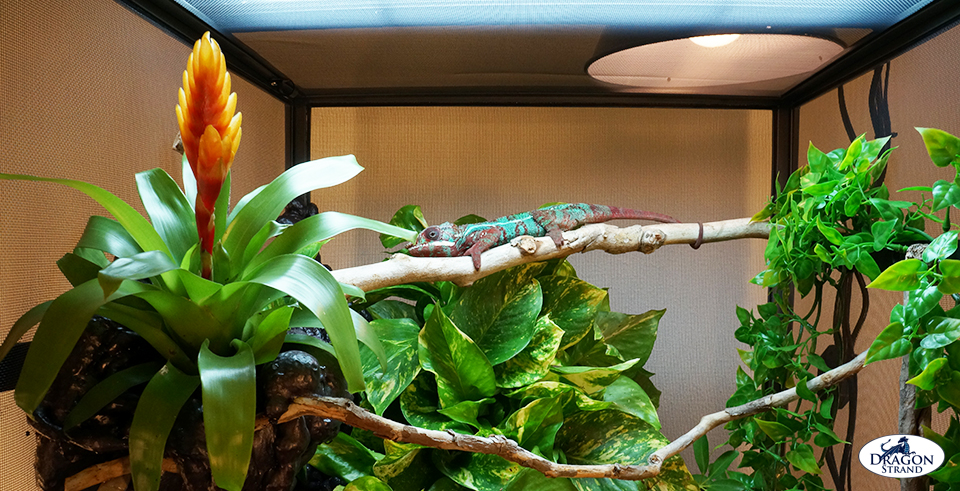 Dragon Strand Advanced Chameleon Cage Setup Dragon Strand
