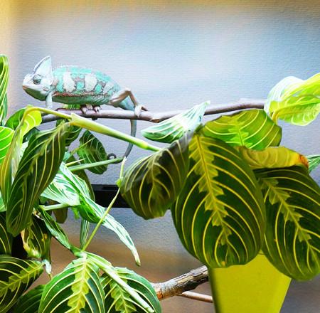 Veiled Chameleon in Atrium Chameleon Cage