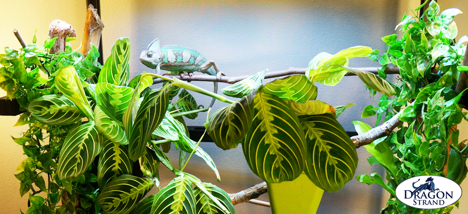 Chameleon Cages: Veiled Chameleon in Atrium Chameleon Cage