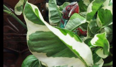 Chameleon portrait through Dragon Strand Clear Side enclosure panel