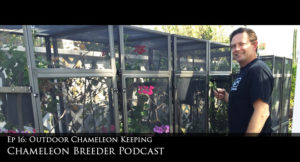 Chameleon Breeder Podcast on outdoor chameleon keeping