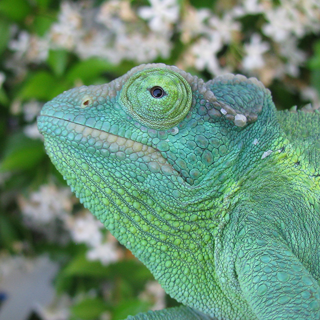 eye of the Jacksons chameleon