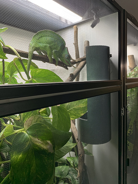 chameleon feeder run cup in Breeder style cage