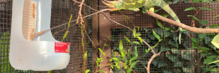Jacksons Chameleon eating