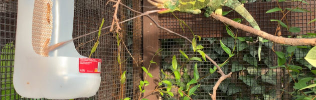 Jacksons Chameleon eating