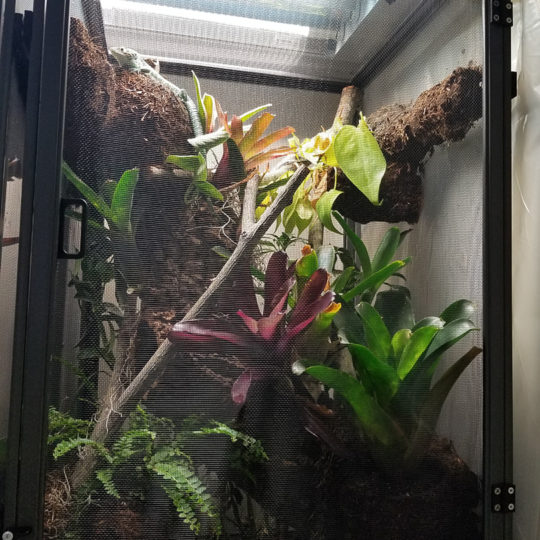 abronia in cage